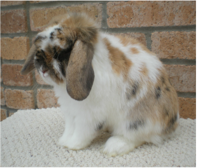 Tri color holland lop cute