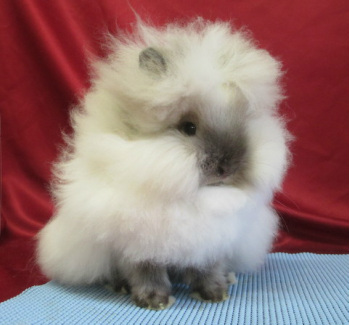 Cute fluffy sable point lionhead