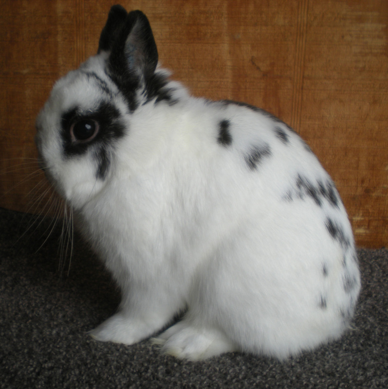 cute broken black netherland dwarf