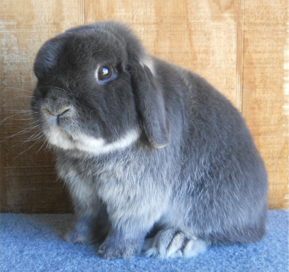 blue otter holland lop male colorado