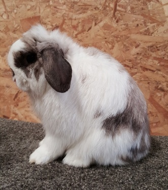 show quality holland lop colorado