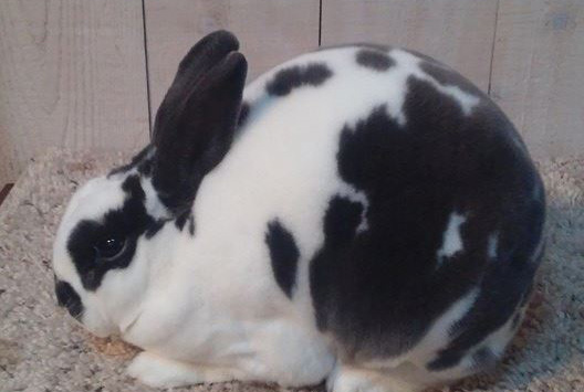 mini rex breeder in colorado