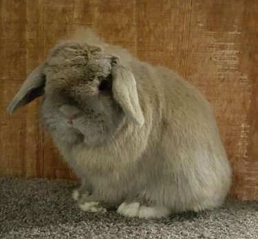 blue tortoiseshell holland lop in colorado