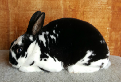 Broken black mini rex