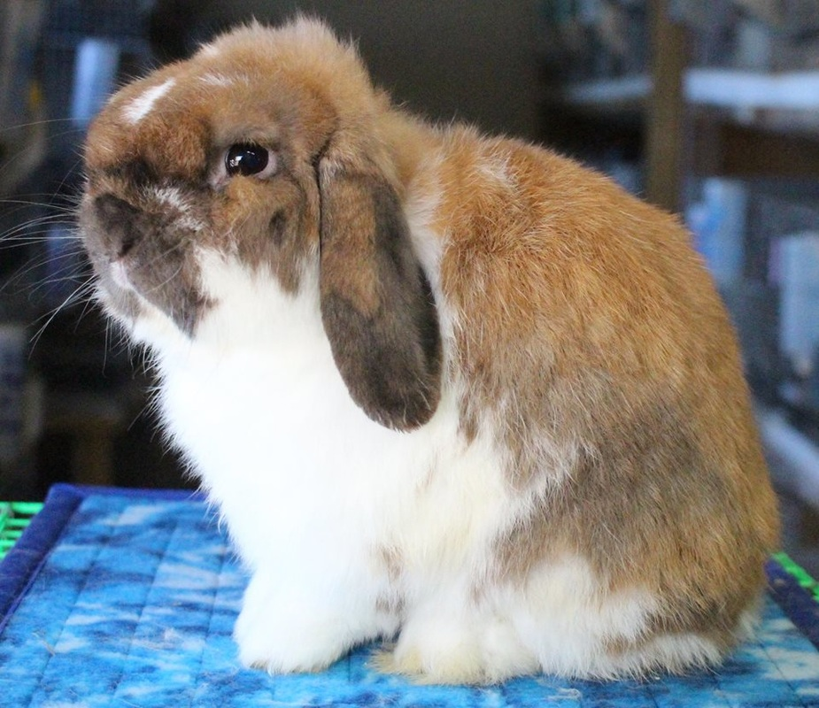 good show quality head on holland lop buck