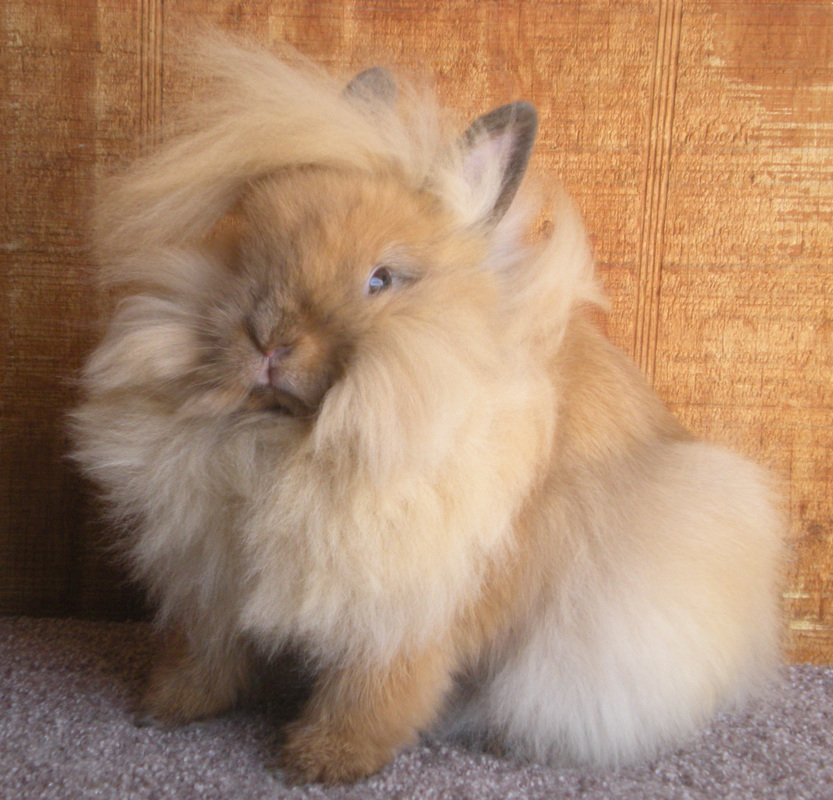 fluffy tort lionhead for sale in colorado