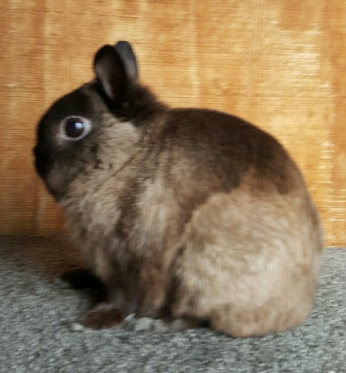 Grand champion netherland dwarf rabbit