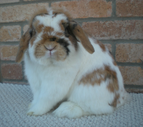 show quality tricolor holland lop buck